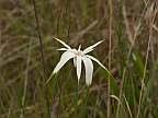 Rhynchospora latifolia