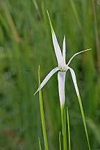 Rhynchospora latifolia White Star Grass