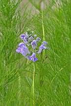 Scutellaria integrifolia