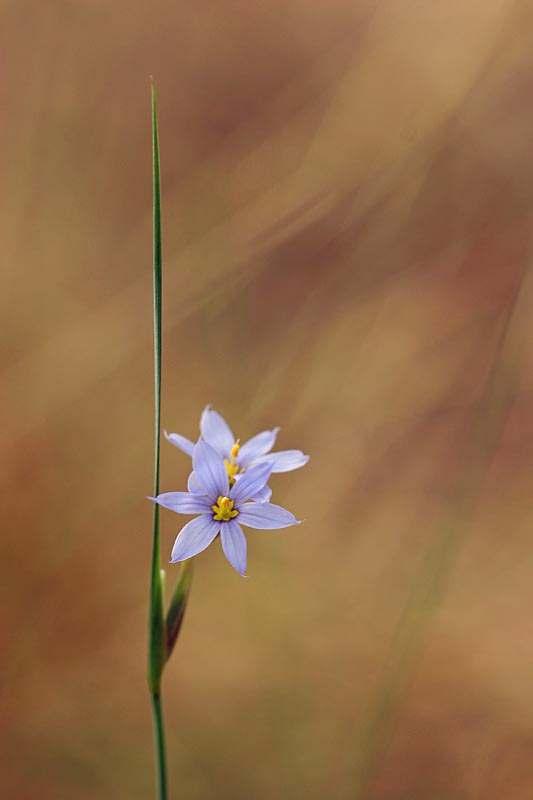 Sisyrinchium augustifolium
