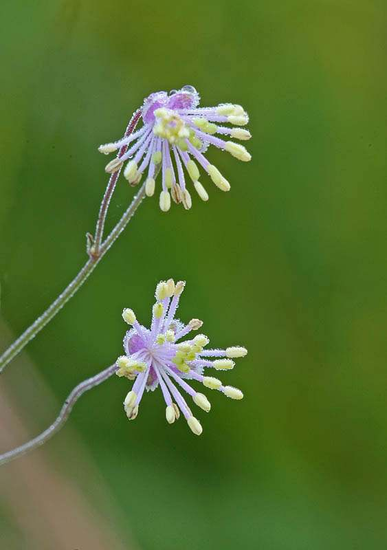 Thalictrum cooleyi