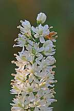 Tofieldia glabra