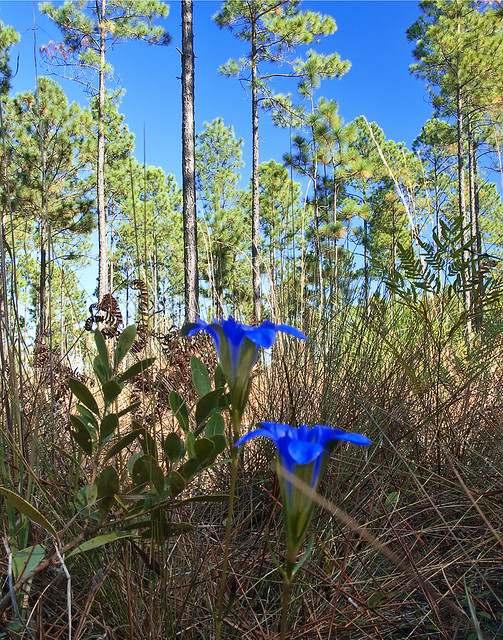 gentiana autumnalis pine barrens gentian