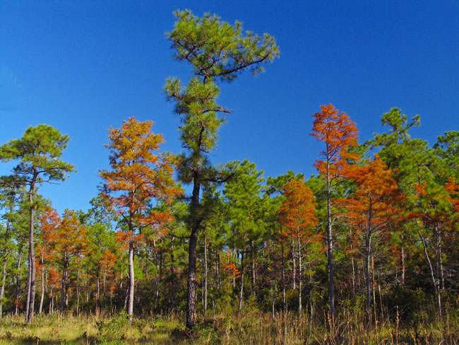 green swamp fall color