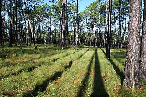 green swamp trees