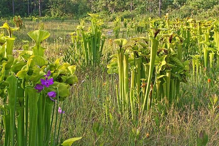 pitcher landscape