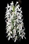 platanthera blephariglottis var conspicua