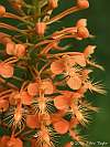 platanthera ciliaris closeup