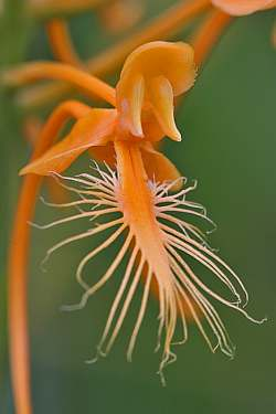 platanthera ciliaris closeup