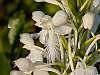 platanthera conspicua closeup