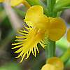 platanthera cristata crested fringed orchid