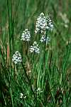 platanthera nivea