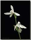 pogonia ophioglossoides variety alba