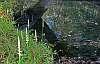 spiranthes odorata pond