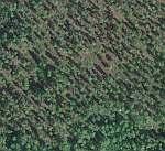 pine savana