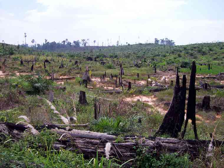 deforestation with oil palm