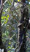 Plectorrhiza tridentata