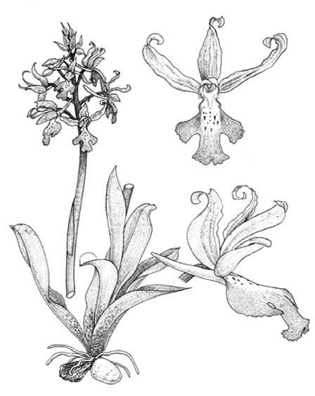 orchis mascula illustration