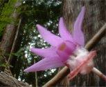 The Calypso Orchid Company Logo