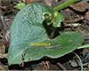 acianthus leaf