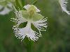 Platanthera leucophaea