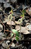 Arachnorchis (Caladenia) parvahttp://www.orchidconservationcoalition.org/pr/arosella/arosella.html