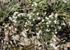 Leucopogon virgatus