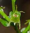 acianthella amplexicaulis closeup