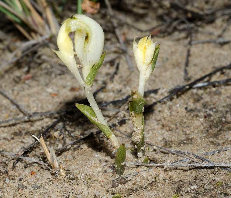 Speculantha parviflora
