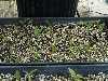 Cypripedium parviflorum seedlings