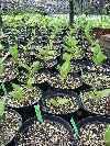 Cypripedium reginae 3-4year old