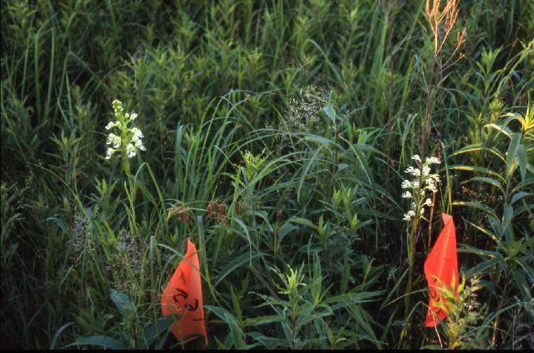 P leucophaea survey Rock, Co., WI