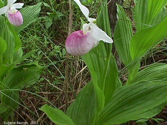 cypripedium reginae