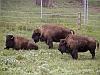bison100.jpg