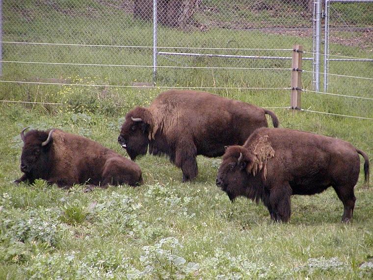 Hybrid bison
