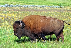 Yellowstone bison Bonnie Eicher