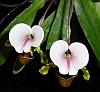 paphiopedilum spicerianum top
