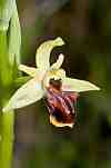ophrys gortyna