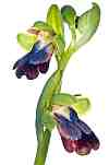 ophrys iricolor davies