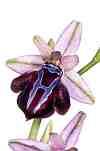 ophrys spruneri