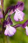 orchis boryi