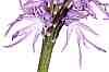 orchis italica