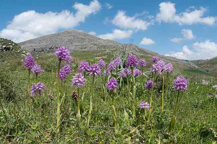 orchis italica landscape