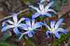 chionodoxia nana a cretan endemic found in the alpine zones