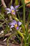 Romulea linaresii ssp graeca