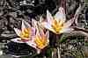 tulipa cretica