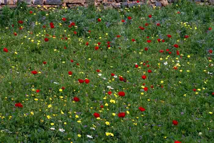 Anenomes, Poppies, and Daisies sampliner