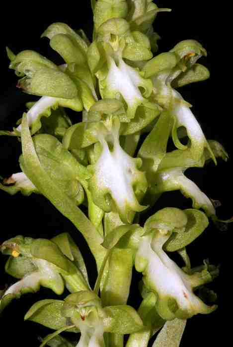 Himantoglossum robertianum white form