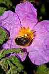 cistus albidus rock rose