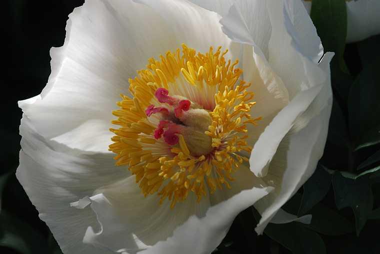 white peony Paeonia clusii